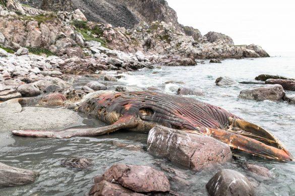 Minke whale corpse